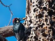 pest bird, woodpecker, bird damage,