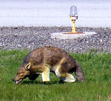 3d Coyote Visual Scare Decoy For Pest Animals Deter
