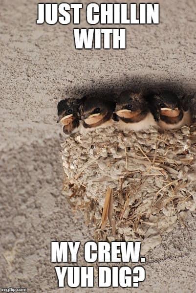 Barn Swallow Meme Bird X