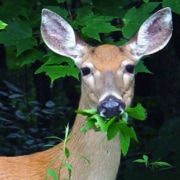deer eating leaves