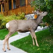 deer in front lawn