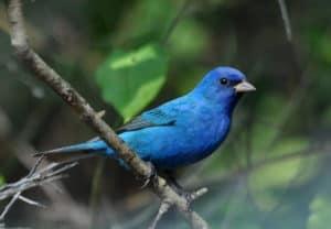 indigo bunting bird, blue bird, indigo bird, colorful bird