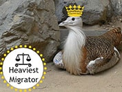 migrating birds, migration superlatives, best of birds,