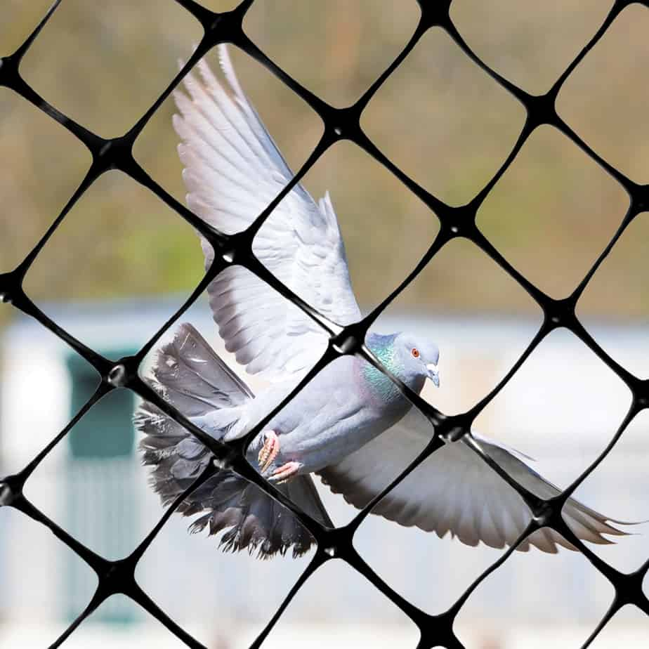 NET-STR pigeon behind net