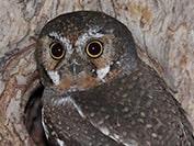 owl thumbnail, elf owl,