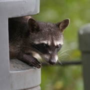 Raccoon icon