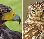 raptors, hawk, owl, raptor facts,