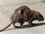 rat, super rat,