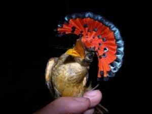 royal flycatcher, orange bird,