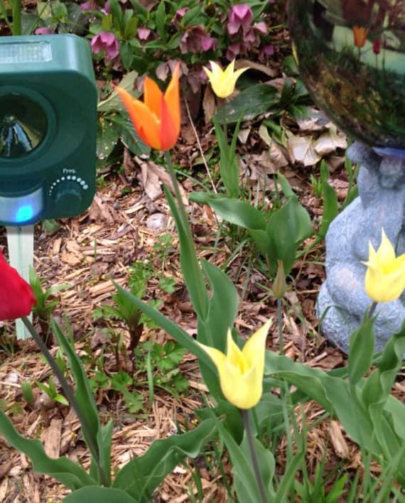 SYG_tulips