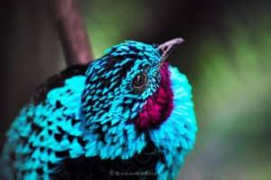 indigo bird, blue bird, exotic bird
