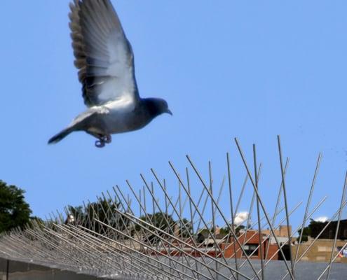 pigeon flying near stainless steel bird spikes
