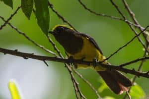 sultan tit, yellow bird,