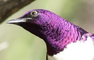 violet bird, purple bird, exotic bird, colorful bird