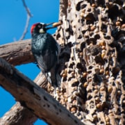 acorn woodpecker, woodpecker damage, bird damage, bird acorn,