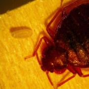 bedbug3