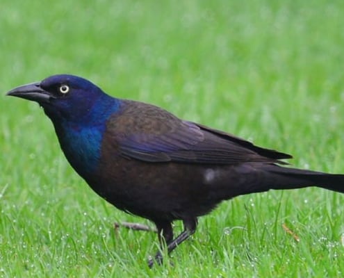 grackle in grass