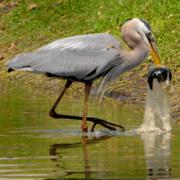 heron with fish in beak