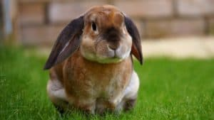 Wild rabbits can carry transmissible strands of Avian Influenze
