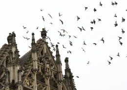 pigeons flying around gothic cathedral
