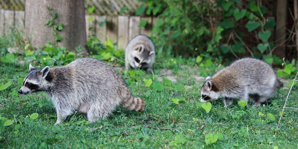 three raccoons in a yard