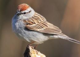 sparrow icon
