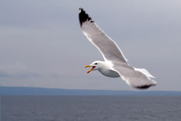 seagull flying over water