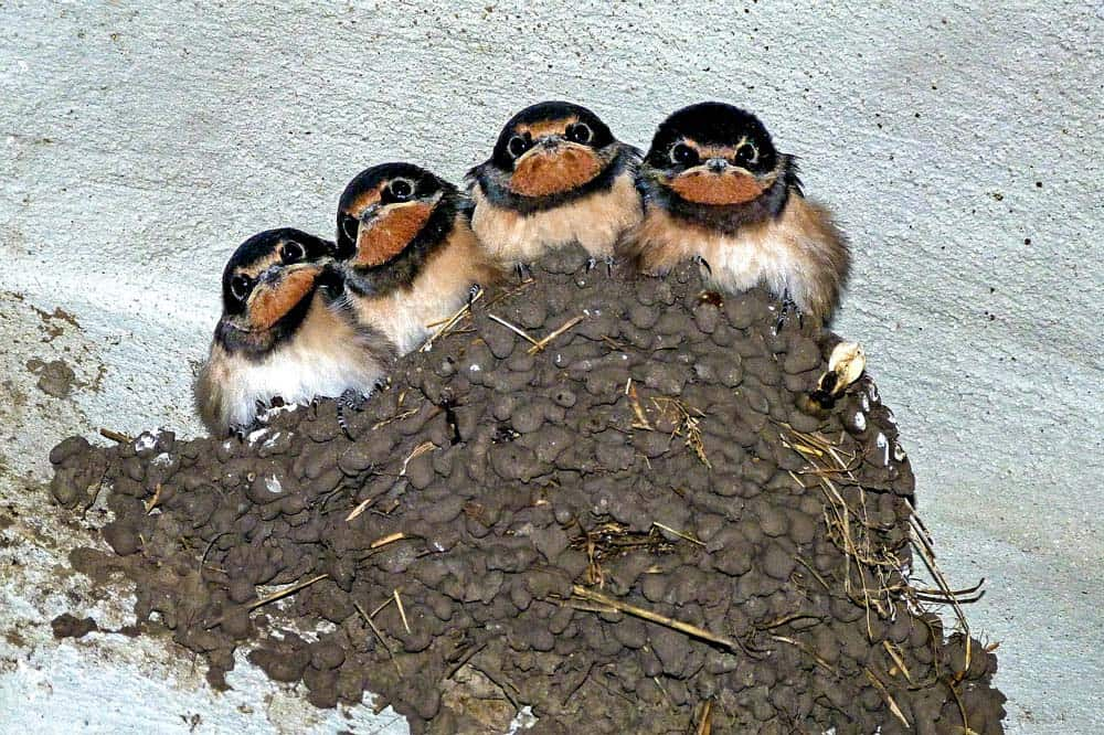 four swallows perching in a mud nest