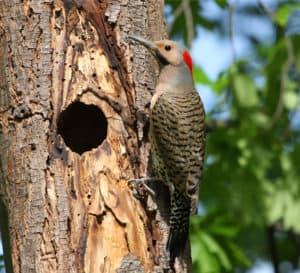 woodpecker-flicker_full